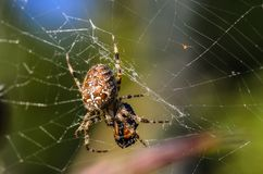 The female of spider araneus. Which sits at the center of its web with the victim Stock Photography