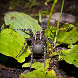 Female of a spider with a cocoon Royalty Free Stock Photos