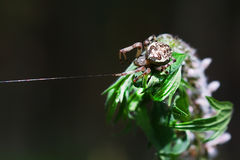 The female spider a Common garden spider ( lat. Araneus diademat Stock Photography