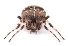 Female spider crusader Royalty Free Stock Images