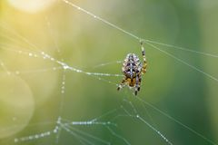 Female spider of garden-spider repairs its web with drops of dew stock photos