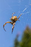 Female spider Royalty Free Stock Image