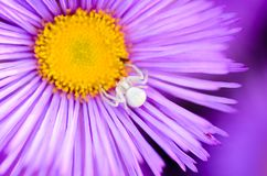 Female spider of white color hunts. A female spider of white color hunts in the center of aster flower Royalty Free Stock Image