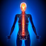Female Spine - Anatomy Bones Royalty Free Stock Photo