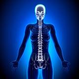 Female Spine - Anatomy Bones Royalty Free Stock Images