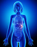 Female spleen and abdominal organs in blue x-ray Stock Photography