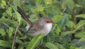 Female Splendid Fairy Wren Royalty Free Stock Photos
