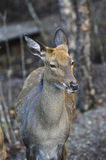 Female spotted deer. In autumn forest Stock Images