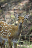 Female spotted deer. In autumn forest Royalty Free Stock Images