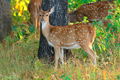 Female spotted deer Royalty Free Stock Image