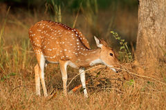 Female spotted deer Royalty Free Stock Images