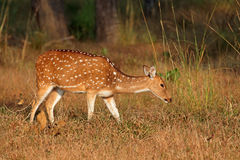 Female spotted deer. Or chital (Axis axis), Kanha National Park, India Stock Photos