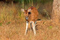 Female spotted deer Stock Images