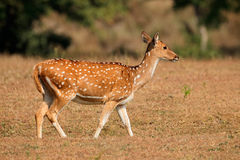 Female spotted deer Royalty Free Stock Photography