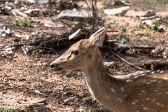 Female Spotted Deer. Closeup shot of Female Spotted Deer at Ranthambore Forest Royalty Free Stock Images