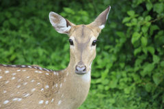 Female spotted deer in Sri Lanka. In YALA national park,a spotted deer in the green background royalty free stock photo