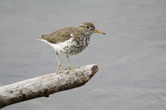 Female Spotted Sandpiper in Alaska. A female Spotted Sandpiper pauses on a small log hanging over a pond in Alaska Royalty Free Stock Photos