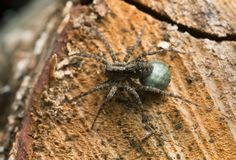 Female spotted wolf spider, Pardosa amentata with eggsack on wood Stock Image