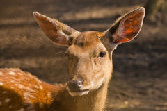 Female of a spotty deer Stock Photography