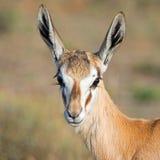 Female Springbok Portrait. A closeup portrait of a Springbok ewe in Southern Africa stock image