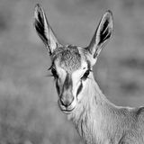 Female Springbok Portrait. A closeup portrait of a Springbok ewe in Southern Africa royalty free stock photo