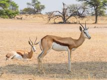 Female Springbok. Two female springbok in the Auob River valley in the Kgalagadi Transfrontier Park straddling South Africa and Botswana Royalty Free Stock Photography