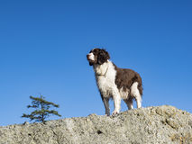 Female Springer Spaniel Stock Image