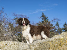 Female Springer Spaniel Royalty Free Stock Photo
