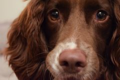 Female Springer Spaniel. Young female springer spaniel close up royalty free stock photo
