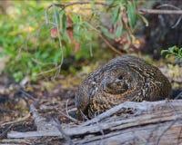 Female spruce grouse Stock Image