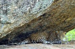 The Female of Sri Lankan leopard Panthera pardus kotiya. Leopard on a rock. The Female of Sri Lankan leopard Panthera pardus kotiya. Sri Lanka. Yala National Royalty Free Stock Photos