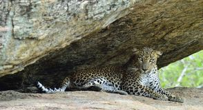 The Female of Sri Lankan leopard Panthera pardus kotiya. Leopard on a rock. The Female of Sri Lankan leopard Panthera pardus kotiya. Sri Lanka. Yala National Stock Photo