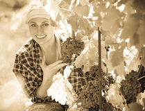 Female staff cutting clusters of wine grape Royalty Free Stock Image