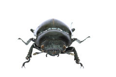 Female stag beetle Stock Image