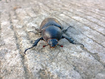 Female stag beetle Royalty Free Stock Photography