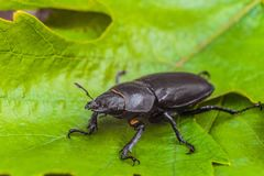 Female stag beetle on the green leaves close-up. Big insect in the wildlife. Limited depth of field Stock Image