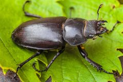 Female stag beetle on the green leaves close-up