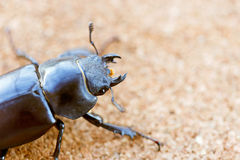 Female stag beetle holding a leaf Royalty Free Stock Photos
