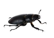 Female stag beetle isolated macro - Lucanus cervus Stock Photo