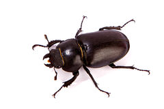 Female Stag Beetle isolated on white. Stock Photo