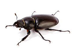 Female Stag Beetle isolated on white Stock Photo