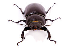 Female Stag Beetle Stock Photos