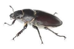 Female stag beetle, Lucanus cervus Royalty Free Stock Photos