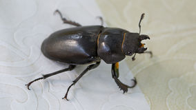 Female stag beetle (Lucanus cervus) Stock Photography