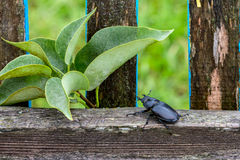 Female stag beetle Lucanus cervus. Sits on rustic fence closeup Royalty Free Stock Images