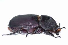 Female stag beetle macro Stock Photos