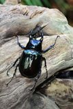 A female stag beetle portrait Royalty Free Stock Photos