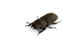 Female stag beetle Stock Photo