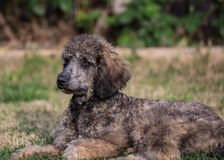 Female Standard Poodle Stock Photography
