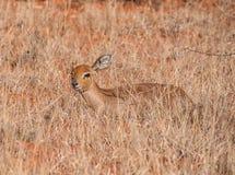 Female Steenbok Antelope Stock Photo